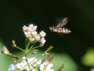 Hover Fly Attracted to Lakeside Organic Gardens Sweet Alyssum plants