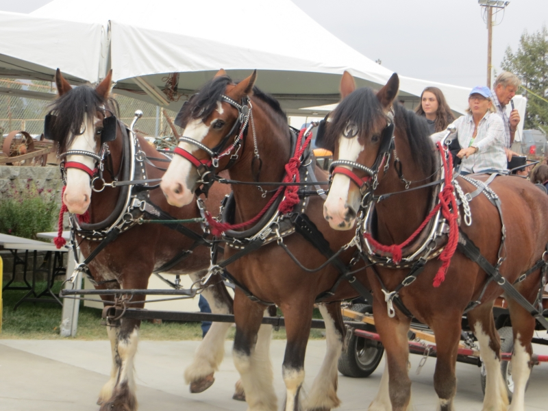2014SCCF 338 Mary Bannister drives Fred Silva's draft horses in Parade of Champions.JPG