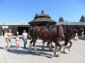 2013 FAIR - AHP draft horses 030.JPG